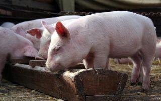 Если соседи развели свиней и от них воняет: что делать, куда жаловаться, каков закон