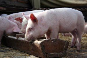 Разводят свиней